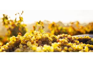 Spotlight: Chardonnay